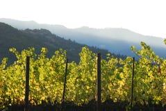 Vigna del vino in valle Fotografia Stock Libera da Diritti