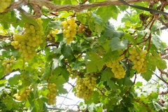 Vigna dell'acino d'uva che caratterizza gli acini d'uva Fotografia Stock