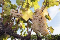 Vigna dell'uva che raccoglie vite Amber Rkatsiteli Fotografie Stock