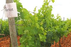 Vigna dell'uva del Merlot Immagine Stock Libera da Diritti