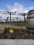 Vigna della primavera con il narciso Immagini Stock Libere da Diritti