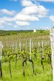 Vigna della primavera, repubblica Ceca Fotografia Stock
