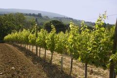 Vigna della Toscana Fotografia Stock