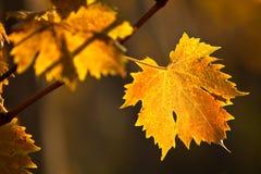 Vigna di autunno Immagini Stock