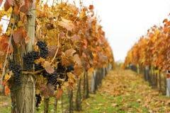 Vigna di autunno con l'uva matura Immagine Stock Libera da Diritti