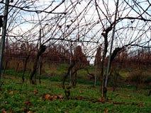 Vigna di autunno con le foglie cadute nel giorno soleggiato fotografia stock