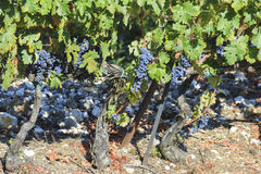 Vigna di autunno dell'uva, vite Fotografia Stock