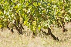 Vigna di autunno dell'uva, vite Fotografie Stock