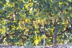 Vigna di autunno dell'uva, vite Immagine Stock Libera da Diritti