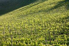 Vigna di Chianti con luce obliqua Fotografia Stock