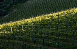 Vigna di Chianti con luce obliqua Immagini Stock Libere da Diritti