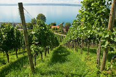 Vigna di Constance del lago Fotografia Stock