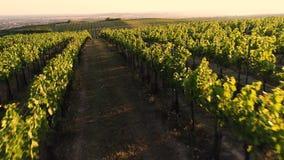 Vigna di fioritura in un colpo aereo, Toscana dell'uva stock footage