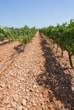 Vigna di Mallorca Fotografia Stock