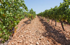 Vigna di Mallorca Immagine Stock Libera da Diritti