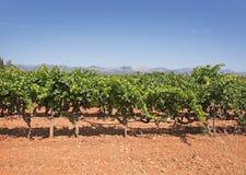 Vigna di Mallorca Fotografie Stock Libere da Diritti