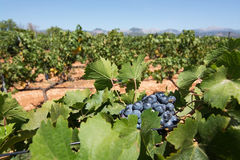 Vigna di Mallorca Fotografia Stock Libera da Diritti