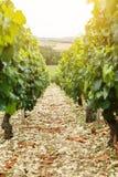 Vigna di progettazione del vino Immagine Stock