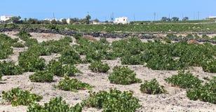 Vigna di Santorini Immagine Stock