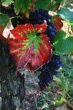 Vigna di vino rosso nell'Alsazia, Francia Immagini Stock