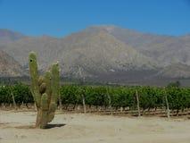 Vigna e cactus in valle arida Immagini Stock