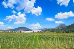 Vigna e cielo blu in Tailandia immagine stock