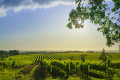 Vigna e mare di Bolgheri Maremma Toscana, Italia Immagini Stock