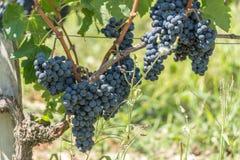 Vigna e pompelmo in Medoc vicino al Bordeaux in Francia Fotografia Stock