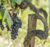 Vigna e pompelmo in Medoc vicino al Bordeaux in Francia Fotografie Stock