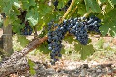 Vigna e pompelmo in Medoc vicino al Bordeaux in Francia Immagini Stock Libere da Diritti