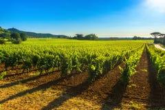 Vigna ed albero di Bolgheri Castagneto Maremma Toscana, Italia Immagine Stock Libera da Diritti