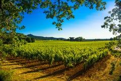 Vigna ed albero di Bolgheri Castagneto Maremma Toscana, Italia Immagine Stock
