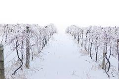 Vigna ghiacciata Fotografia Stock Libera da Diritti