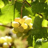 Vigna, giacimenti dell'uva in Spagna mediterranea Immagini Stock Libere da Diritti