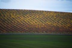 Vigna gialla di autunno sotto il cielo nuvoloso Immagine Stock