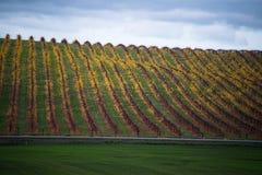 Vigna gialla di autunno sotto il cielo nuvoloso Fotografia Stock Libera da Diritti