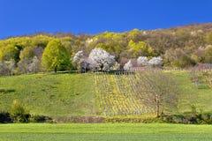 Vigna idilliaca e natura della collina di primavera Immagini Stock
