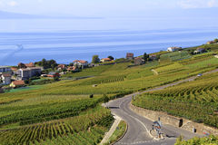 Vigna lungo il lago, Svizzera Immagini Stock Libere da Diritti