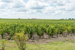 Vigna in Medoc vicino al Bordeaux in Francia Immagine Stock Libera da Diritti