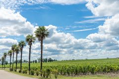 Vigna in Medoc vicino al Bordeaux in Francia Immagine Stock