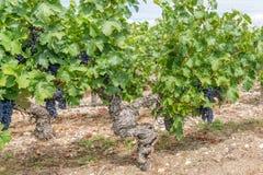 Vigna in Medoc vicino al Bordeaux in Francia Fotografia Stock Libera da Diritti