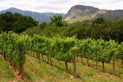 Vigna, Montague, itinerario 62, Sudafrica, Fotografia Stock Libera da Diritti