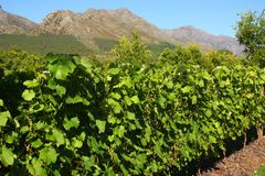 Vigna, Montague, itinerario 62, Sudafrica Immagini Stock Libere da Diritti