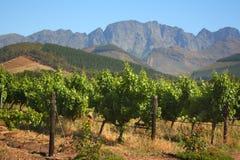 Vigna in Montague, itinerario 62, Sudafrica Fotografia Stock Libera da Diritti