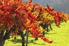 Vigna/Napa Valley di autunno Immagine Stock