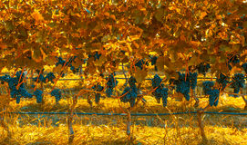 Vigna nei colori di autunno Fotografia Stock Libera da Diritti