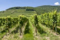 Vigna nell'Alsazia Francia Fotografia Stock