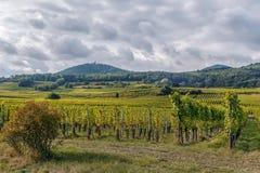Vigna nell'Alsazia, Francia Immagine Stock