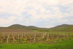Vigna nell'ambito di agricoltura del paesaggio della collina Immagini Stock