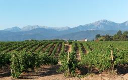 Vigna nell'isola di Corsica Immagine Stock Libera da Diritti